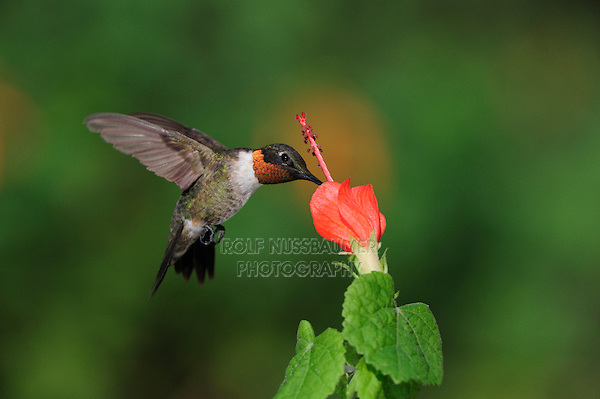 Ruby-throated Hummingbird (Archilochus colubris), male in flight feeding on Turk's Cap (Malvaviscus drummondii), Hill Country, Central Texas, USA