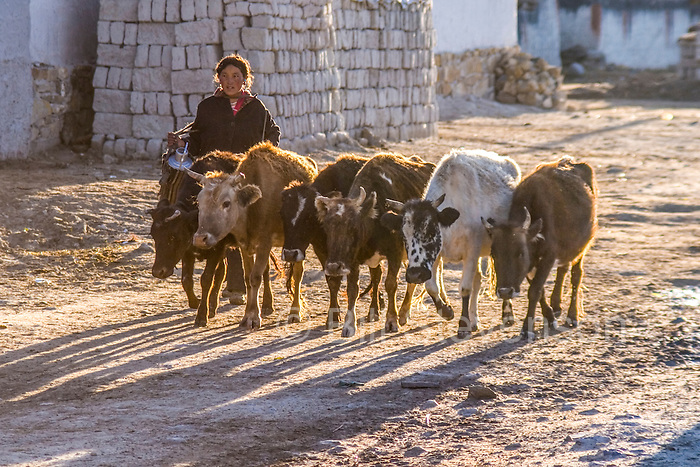 A Tibetan girl herding cows early in the morning in Tingri in Tibet