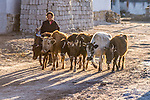 A Tibetan girl herding cows early in the morning in Tingri in Tibet