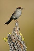 Chipping Sparrow - Spizella passerina - Adult breeding