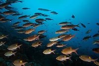Maldives Ari Atoll Rango Madivaru School Of Gold Spot Emperors Fishes Gnathodentex Aurolineatus