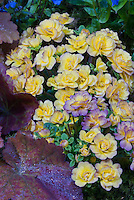 Primula 'Belarina Seres Nectarine'  double primrose yellow flowers
