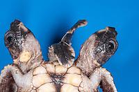 loggerhead sea turtle hatchling, Caretta caretta, Two-headed deformity - conjoined twins, Boca Raton, Florida, USA