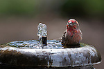 2015 Finches at the fountain