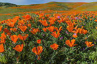 California poppies along with a few filaree flowers cover hills and draws near the Antelope Valley California Poppy Reserve.  March.