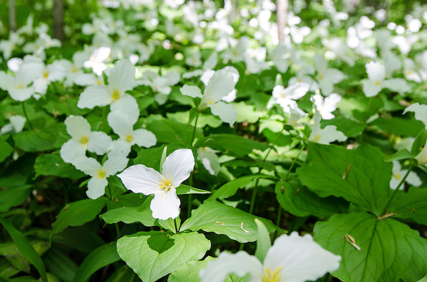 Spring trilliums blooming across the forest floor. Munising, MI