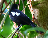 Male white-shouldered tanager