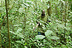 African Golden Cat (Caracal aurata aurata) researcher, Sam Isoke, walking through rainforest, Kibale National Park, western Uganda