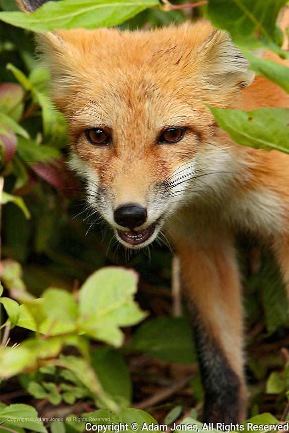 Juvenile red Fox, Vulpes vulpes