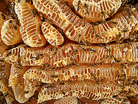 Bees on the honey combs of a natural wax construction. The making of the honey by the bee begins in its crop during its flight back to the hive, thanks to an enzyme that transforms the sucrose into glucose and fructose. Arriving in the hive, the foraging bee regurgitates the nectar into a recipient bee. Then the long task of dehydrating the soon to be honey begins. To do so, it is placed as a fine film on the inner walls of the cells and is fanned by the worker bees to cause the evaporation of the excess water. When the honey has reached the required degree of moisture, it is transferred to other cells that will be sealed.<br /> Abeilles sur les rayons de miel d'une construction naturelle de cire. L'élabore du miel par l'abeille commence dans son jabot lors de son vol de retour à la ruche, grâce à une enzyme qui transforme le saccharose en glucose et en fructose. Arrivée à la ruche, la butineuse régurgite le nectar que recueille une receveuse. Commence alors un long travail de manipulation, destiné à déshydrater cette ébauche de miel. Pour cela, il est déposé par fines pellicules sur la paroi interne des cellules, et il est ventilé par les ouvrières pour provoquer l'évaporation de l'excédent d'eau. Lorsque le miel a atteint le degré d'humidité requise, il est transféré dans d'autres alvéoles qui seront operculées.