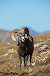 Bighorn sheep ram  on alpine tundra during summer. Rocky Mountain National Park, Colorado.