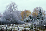 First snow on autumn colour, fall colour, maple trees, Lanark County, Ontario<br />