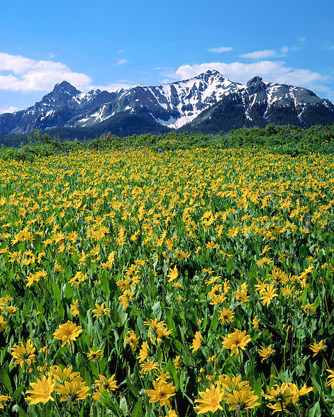 Sunflowers in the San Juan Mountains, Telluride, Colorado, USA. John guides custom photo tours in the Sneffels Range and throughout Colorado.