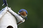 Eastern bluebird (Sialia sialis) male bringing food to his offspring.  Summer.  Winter, WI.