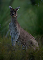 Gray Kangaroo in Yanchep National Park, Australia.