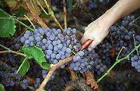 Hand cutting a bunch of Grenache. Cave cooperative Cellier des Dominicains, Collioure. Collioure. Roussillon. France. Europe.