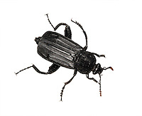 shore sexton beetle<br /> necrodes littoralis