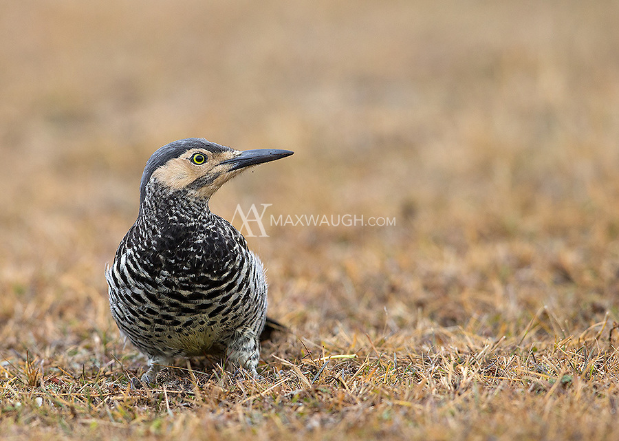 The Chilean flicker looks very similar to the Andean flicker I photographed in Peru.
