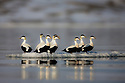 Norway, Svalbard, common eider ducks (Somateria mollissima) on ice floe
