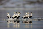 Norway, Svalbard, common eider ducks (Somateria mollissima) on ice floe