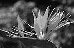 Bird of Paradise flower, Crane flower, Strelitzia, perennial plants, Bird of Paradise flower native to South Africa, California, West Coast of US, Golden State, 31st State, California, CA, Fine Art Photography by Ron Bennett, Fine Art, Fine Art photography, Art Photography, Copyright RonBennettPhotography.com ©
