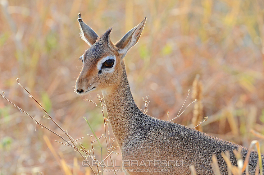 Kirk's Dik-Dik (Madoqua kirkii), Tanzania Africa. A common resident of acacia savannas in Kenya and Tanzania.