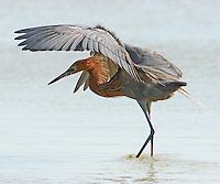 Reddish egret chasing fish. The fishing strategy of reddish egrets is unique as the birds run and leap after fish in shallow water.