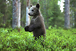 Bear cub appears to boogie