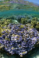 shalow coral reef, Many species. Midway atoll, Papahanaumokuakea Marine National Monument, Northwestern Hawaiian Islands, Hawaii, USA, Pacific Ocean