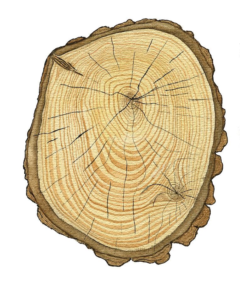 Grove den (Pinua sylvestris) doorsnede stam