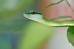 Parrot Snake ,Leptophis ahaetuella, searching for a meal of frog or insects on the Osa Peninsula of Costa Rica.