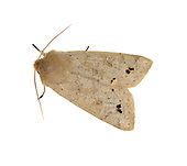 Twin-spotted Quaker - Orthosia munda