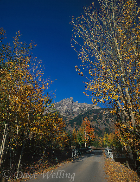 749450365 a park road over a bridge is lined with fall colored golden aspens populus tremuloides with the tetons in the background in grand tetons national park wyoming