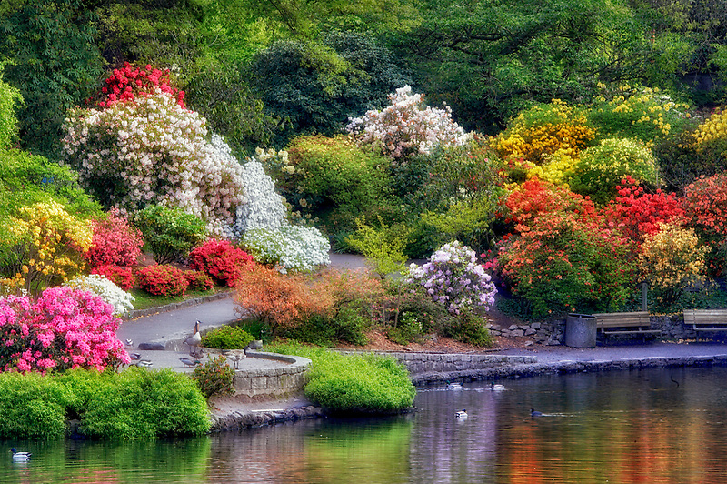Pond and geese/ducks with bloominmg rhododendrons at Crystal Gardens. Portland