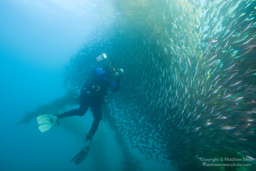 Catalina Island, Channel Islands, California; a scuba diver attempts to photograph a large school of Salema (Xenistius californiensis) fish swimming amongst the Giant Kelp (Macrocystis pyrifera) forest