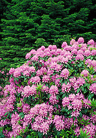 California coast redwood tree with pink rhododendron bush in foreground. forest, spring, season, seasonal. California, Redwood National Park.