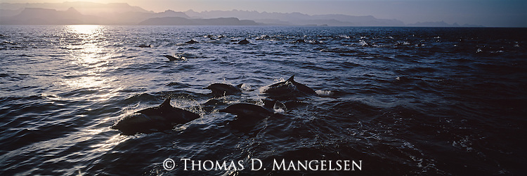 A pod of dolphins swim through the ocean at sunset in Baja, California.