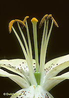 FZ02-001d  Flower Reproduction - pistil in center with stamens around - Lilium spp.  Mont Blanc