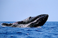 humpback whales, Megaptera novaeangliae, courtship behavior - males? fighting to gain access to female, Big Island, Hawaii, Pacific Ocean