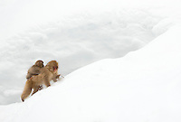 Japanese Macaque (Macaca fuscata) and youngster, Nagano, Japan, February 2015