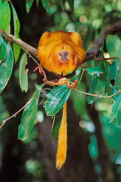 Golden Lion Tamarin (Leontopithecus rosalia).  Found mostly in eastern Brazil.