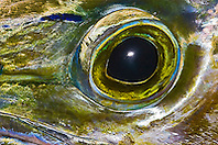Eye of Mahi Mahi, Dolphinfish, or Dorado, Coryphaena hippurus, off Kona Coast, Big Island, Hawaii, Pacific Ocean.
