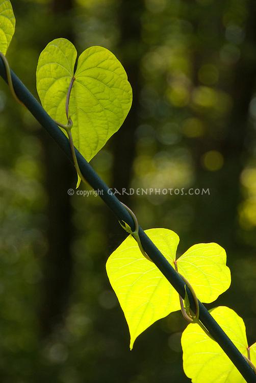 Backlit leaf vine