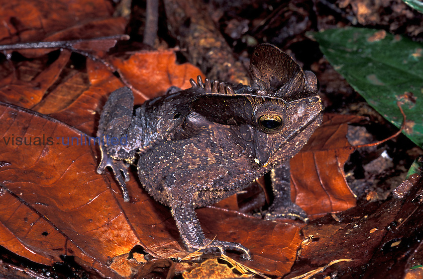 Toad (Bufo) camouflaged on leaves on the forest floor, Amacayacu National Park, Colombia