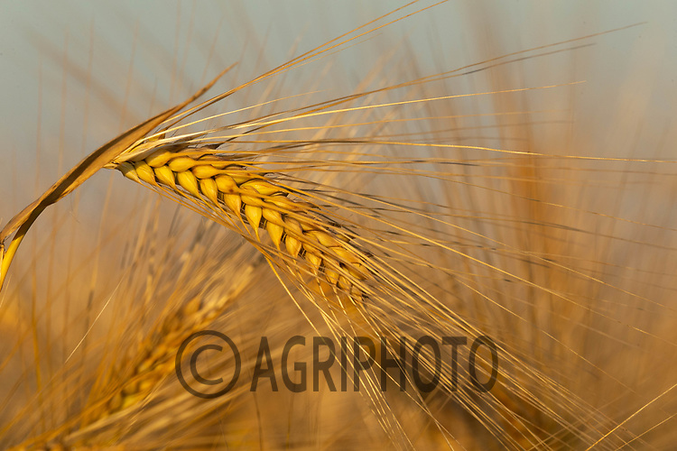 22.6.2020 Winter Barley<br /> ©Tim Scrivener Photographer 07850 303986<br />      ....Covering Agriculture In The UK.