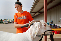 NWA Democrat-Gazette/DAVID GOTTSCHALK Karlie Lindsay, 15, blow dries Tuesday, August 7, 2018, Illusion, an African Boer Goat, at the 2018 Benton County Fair in Bentonville. The 2018 Benton County Fair runs through Saturday, August 11, and features amusement rides, arts displays, a horse show, goat yoga and other exhibits and activities.