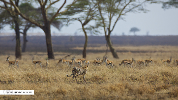 Cheetah stalking Thompson's gazelles, Central Serengeti