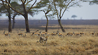 Cheetah stalking Thompson's gazelles, Central Serengeti