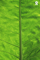 Green leaf, detail (Licence this image exclusively with Getty: http://www.gettyimages.com/detail/200387971-001 )