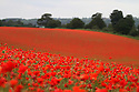 12/06/2012 ..Despite weeks of rain trying to beat summer into submission, one part of Britain is enjoying a true summertime spectacle, as acres of poppies have burst into bloom...The air is full of the sounds of birds and busy insects pollinating the poppy flowers. However the tranquil scene is repeatedly interrupted by the sound of steam trains and roaring lions!..The Severn Valley Railway runs along the edge of the bright red fields near Bewdley, Worcestershire and only metres from the chuffing and whistling trains, lions roam around The West Midlands Safari Park. ..Bewdley is well known for its poppy fields but the display this year in Blackstone Park Nature Reserve is thought to be about three times the size of any year's previous display and stretches for acres across three fields...The public are allowed into a small, roped-off, viewing area and signs warn against venturing into the flowers so as not to disturb nesting skylarks and other wildlife that are attracted to the fields despite the sound of the nearby lions...This year's must-see spectacular is hidden away from the road and is easily missed.....All Rights Reserved - F Stop Press.  www.fstoppress.com. Tel: +44 (0)1335 300098.Copyrighted Image. Fees charged will reflect previously agreed terms or space rates for individual publications, states or country.